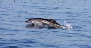 Un esemplare di delfino capitolino