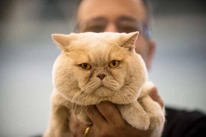 Pablo Del Supercat Show Il British Shorthair Che Ha Fatto Rinascere